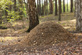 Anthill large in the wood Royalty Free Stock Photography