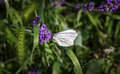 Anthocharis cardamines butterfly female on flowers Royalty Free Stock Image