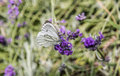 Anthocharis cardamines butterfly female on flowers Stock Photo