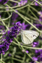 Anthocharis cardamines butterfly female on flowers Royalty Free Stock Photo