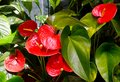 Anthurium andraeanum red flowers in the garden.Flamingo lily,Tailflower,Laceleaf, Heart-shaped flower. Royalty Free Stock Photo