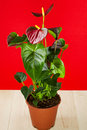 Anthurium decorative houseplant bright leaves red background Stock Photos