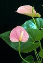 Anthurium - Flamingo Flower Stock Image