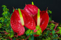 Anthurium flower field stock photo Royalty Free Stock Photos