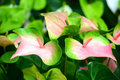 Anthurium in the flower garden Royalty Free Stock Photo