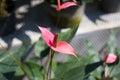 Anthurium flowers Royalty Free Stock Photo
