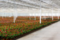 Anthurium nursery in a green house red the netherlands Stock Image