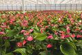 Anthurium nursery in a green house red and pink the netherlands Stock Photography