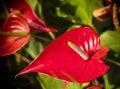 Anthurium Royalty Free Stock Photo