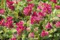 Anthyllis montana Royalty Free Stock Photo