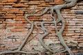 Antiguo tree trunks climb on the red brick wall like snakes Stock Photos