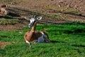 Antilop Arkivbild