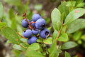 Antioxidant rich wild blueberry shrub Stock Images