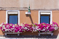 Antique  building with windows with pink blooming petunia flowers  in Venezia Royalty Free Stock Photo