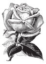 Antique Vintage Rose Illustrat...