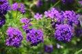 Antiquity cosmos beautiful violet flowers in garden Stock Image