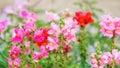Antirrhinum snapdragon flower in the garden Royalty Free Stock Images