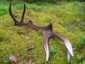 Antlers broken off lying in the woods Royalty Free Stock Image
