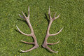 Antlers of a Red Deer Stag Royalty Free Stock Photo