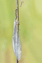 Antlionfly the close up of scientific name euroleon sinicus Royalty Free Stock Photography