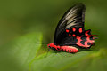 Antrophaneura semperi, in the nature green forest habitat, Malaysia, India. Insect in tropic jungle. Butterfly sitting on the gree Royalty Free Stock Photo