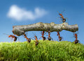 Ants carry log with chief on it, team work Royalty Free Stock Photo