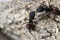 Ants fighting a detail of two camponotus cruentatus Stock Image