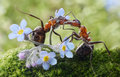 Ants formica rufa kissing flowers actually feeding Royalty Free Stock Images