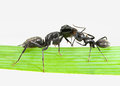 Ants greeting macro of two meeting on grass blade over white background Stock Photos