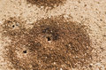 Ants hole a group of working their way inside an maltese countryside Royalty Free Stock Photo