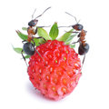 Ants and strawberry Stock Image
