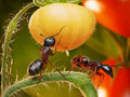 Ants in tomato jungles Royalty Free Stock Image