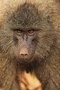 Anubus baboon Royalty Free Stock Image