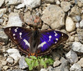 Apature iris/purple emperor