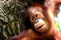 Ape Royalty Free Stock Photo
