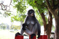 Ape monkey in asia day Royalty Free Stock Images