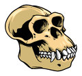 Ape skull detailed hand draw of Royalty Free Stock Image