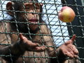 Ape who is trying to catch an apple Royalty Free Stock Photo