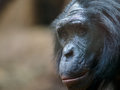Ape in zoo Royalty Free Stock Photo