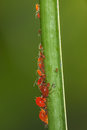 Aphid Royalty Free Stock Photo