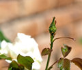 Aphids on a rose Royalty Free Stock Photo