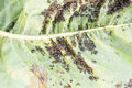 Aphids (Plant lice) on a leaf Royalty Free Stock Photo