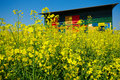 Apiary and canola colorful in the field on sunny day Royalty Free Stock Images