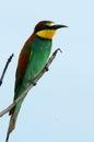 Apiaster食蜂鸟欧 merops 免版税库存照片