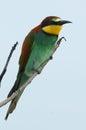 Apiaster食蜂鸟欧 merops 库存照片