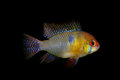 Apistogramma ramirezi isolated black mikrogeophagus ramirezi Stock Images