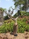 Apocynaceae pachypodium lamerei tree Royalty Free Stock Photo