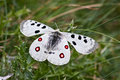 Apollo butterfly beautiful parnassius Royalty Free Stock Photo