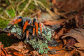 Aponopelma bicoloratum big bird spider on lichen Stock Photography