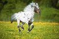 Appaloosa Horse Runs Gallop On...
